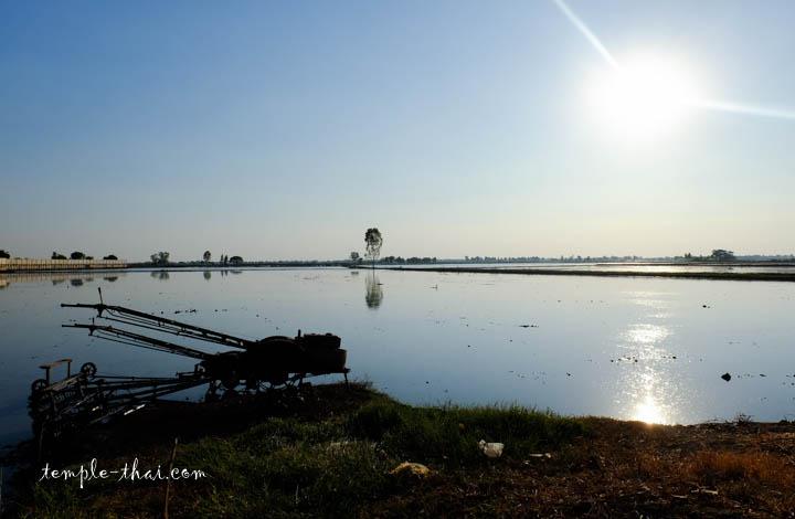 Rizières à Suphanburi