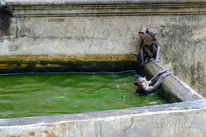 macaques crabiers
