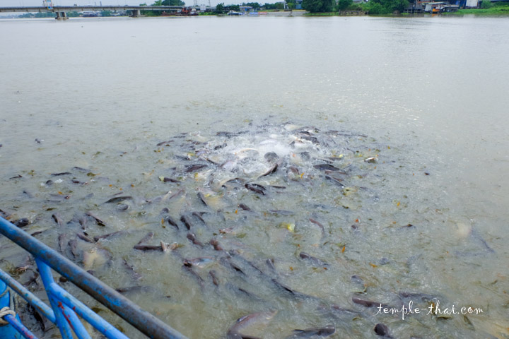 Poisson fleuve Chao Phraya