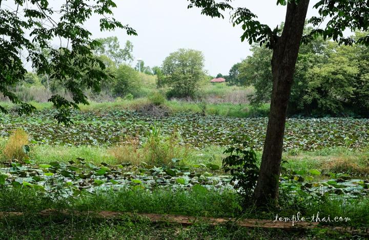 Lac de lotus