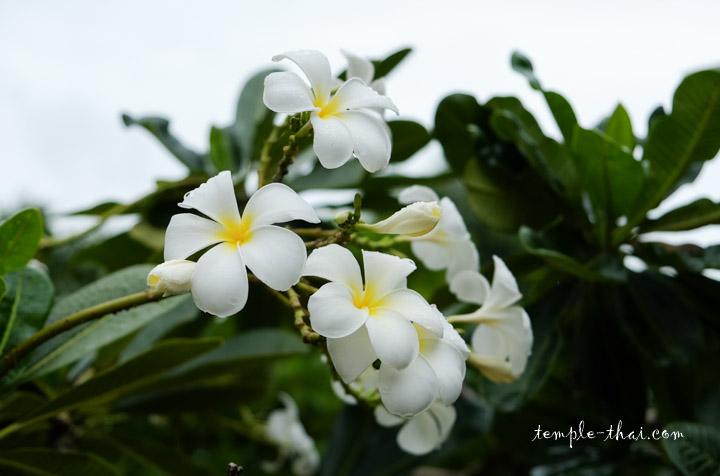 Frangipanier Thaïlande